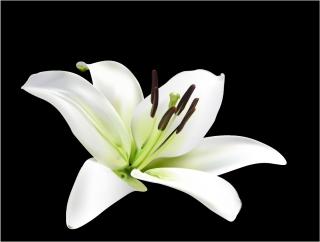 美しい百合の花弁 LILY VECTOR MATERIAL