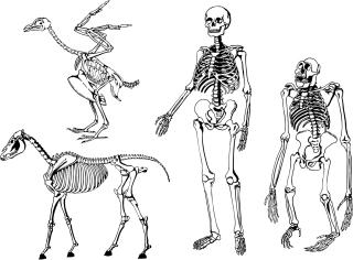 動物 人間の骨格構造 animal human skeleton structure イラスト素材