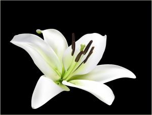 美しいユリの花ビラ realistic lily flower イラスト素材